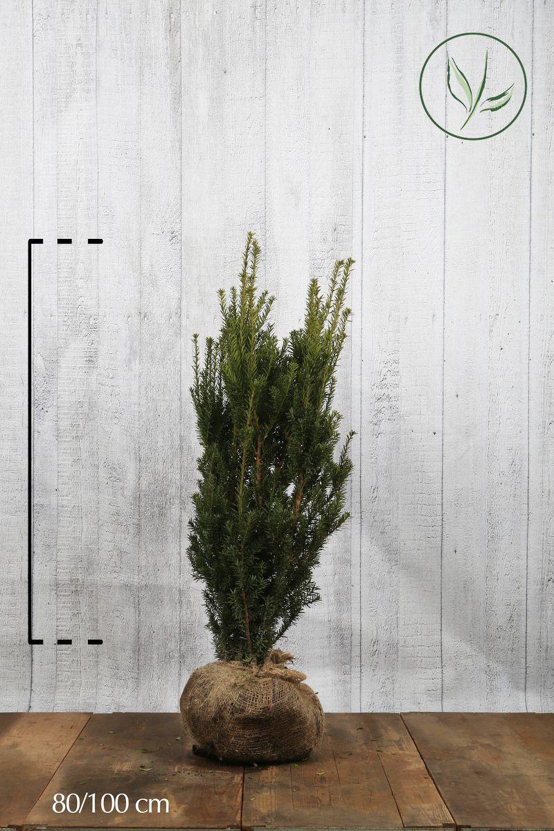 Barlind media 'Hillii' Klump 80-100 cm