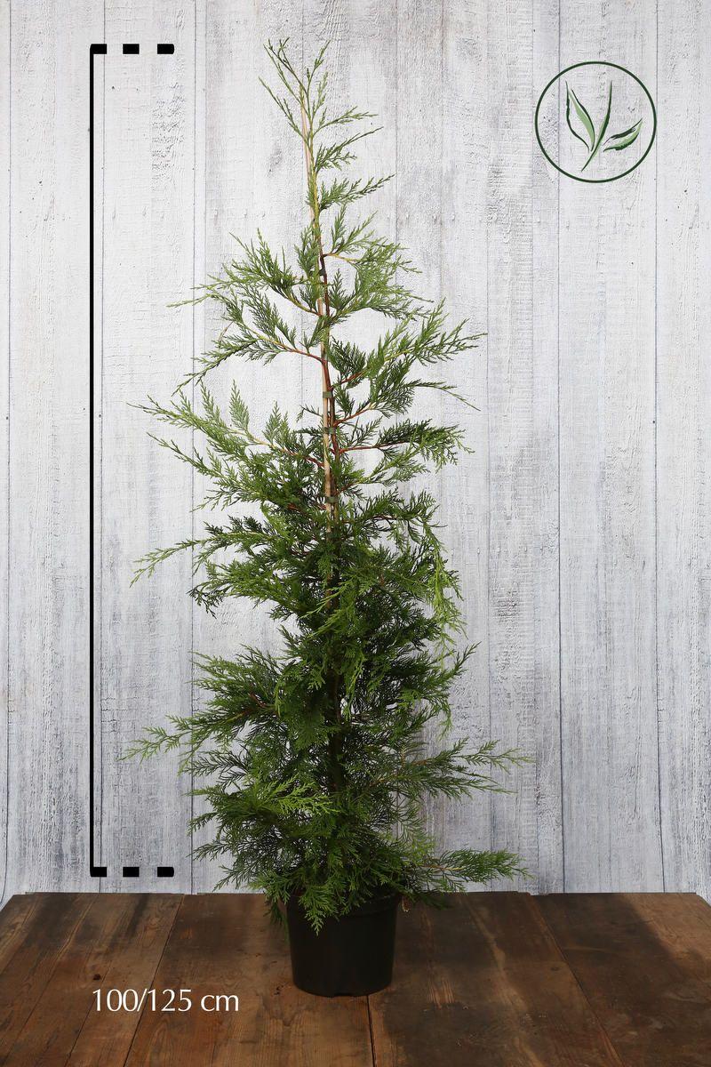 Grønn leylandsypress  Potte 100-125 cm Ekstra kvalitet