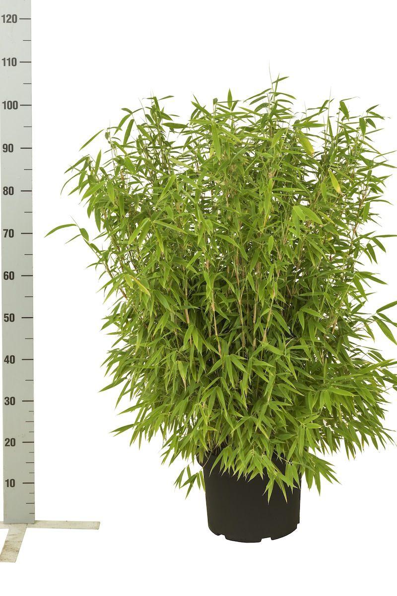 Fargesia murieliae 'Simba' Potte 60-80 cm