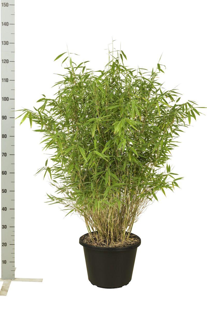 Fargesia murieliae 'Simba' Potte 100-125 cm
