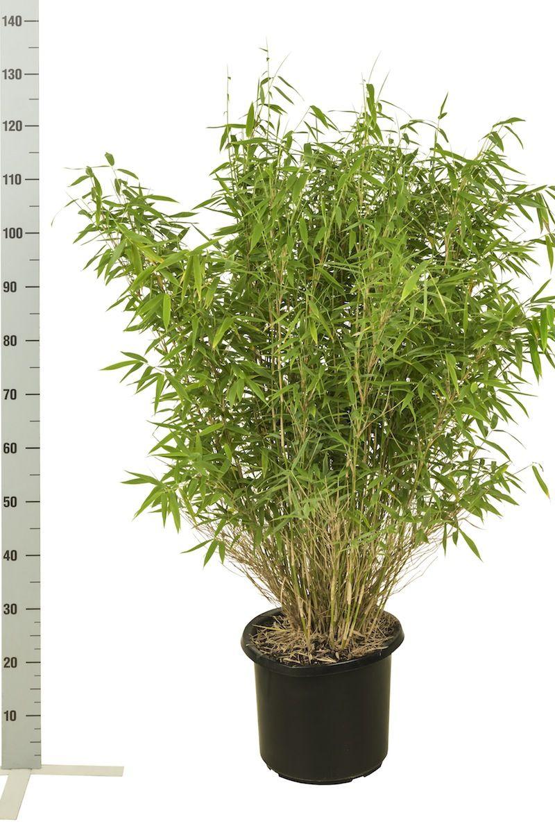 Fargesia murieliae 'Jumbo' Potte 80-100 cm