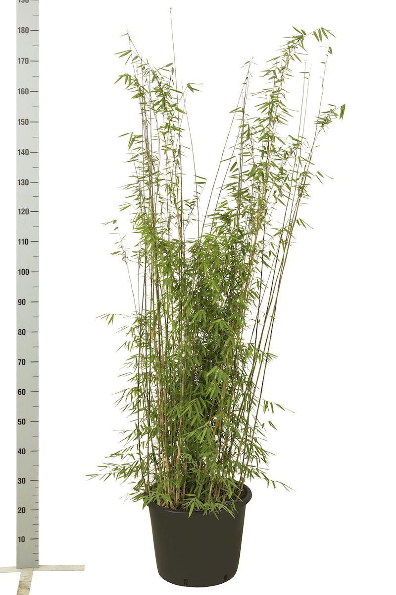 Fargesia jiuzhaigou Potte 125-150 cm
