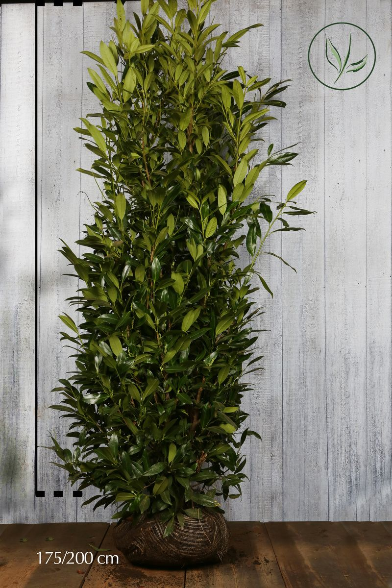 Laurbærhegg 'Herbergii' Klump 175-200 cm Ekstra kvalitet