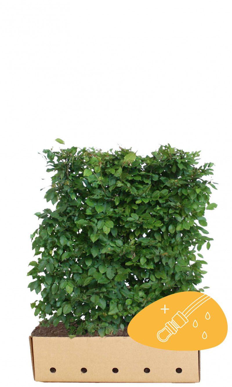 Agnbøk Ferdighekk 120 cm Ferdighekk