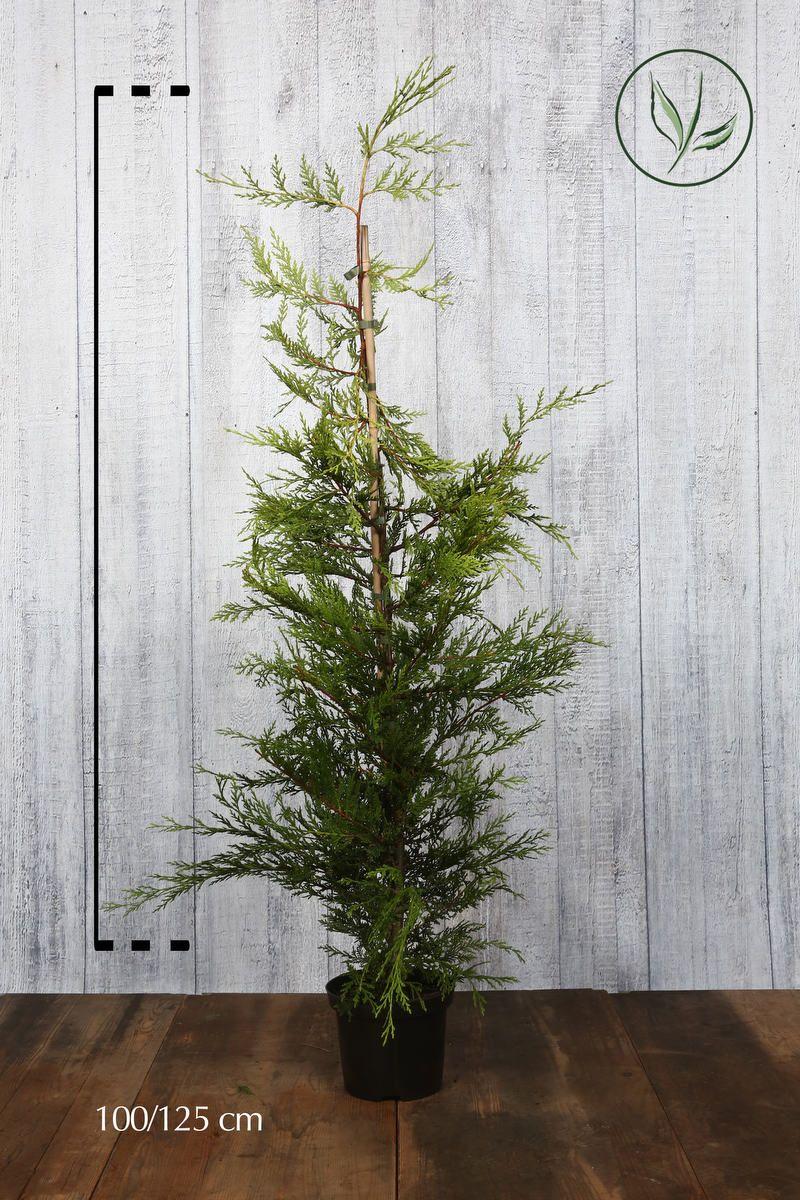 Gul leylandsypress Potte 100-125 cm