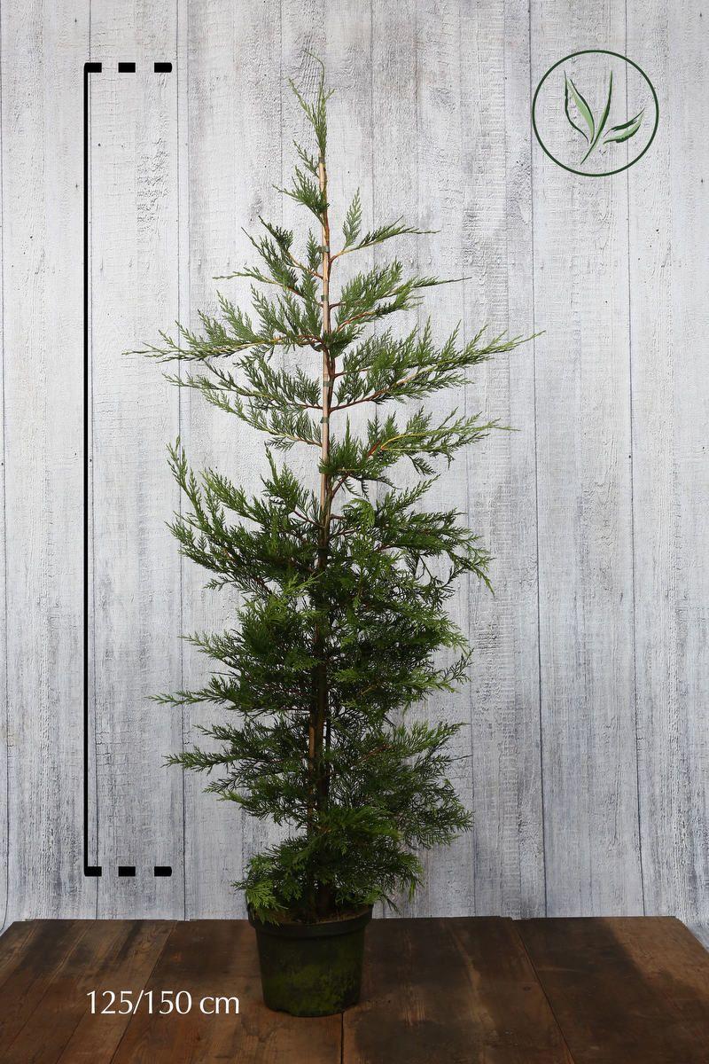 Gul leylandsypress Potte 125-150 cm