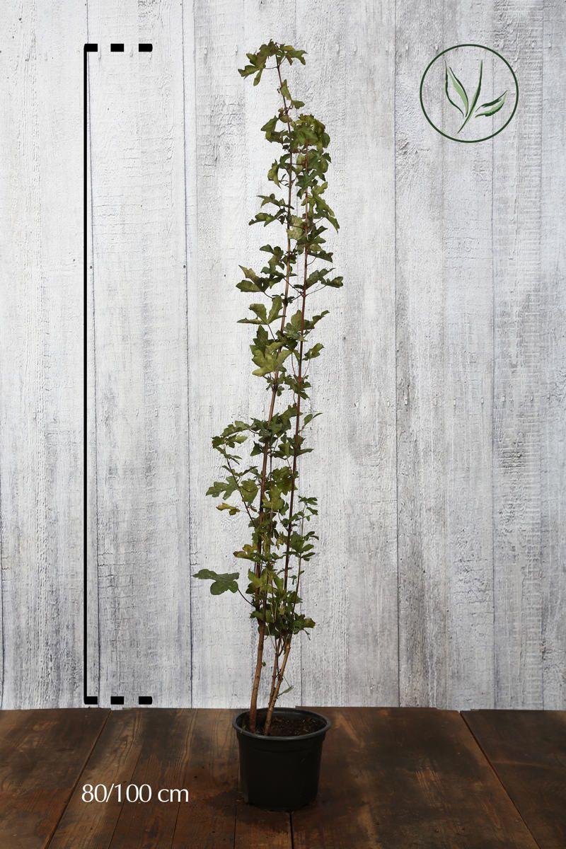 Naverlønn Potte 80-100 cm