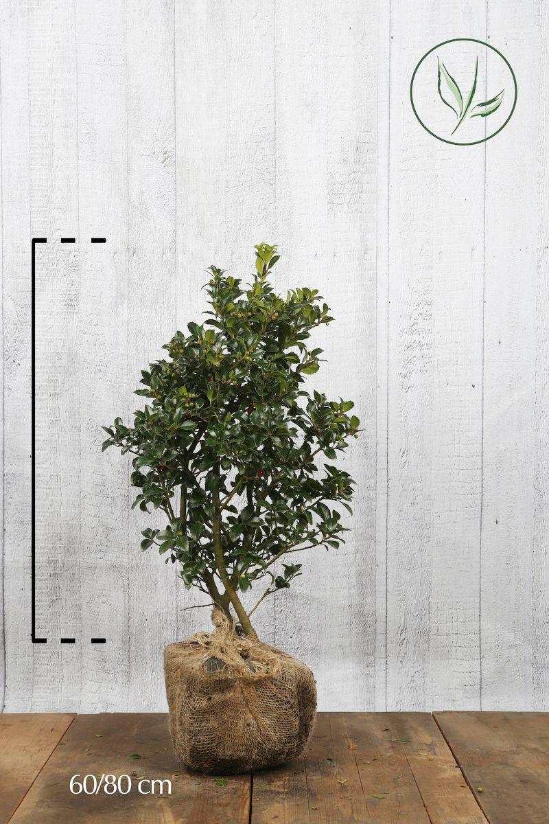 Kristtorn 'Heckenfee' Klump 60-80 cm