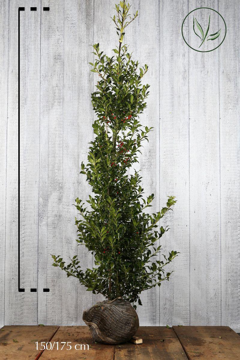 Kristtorn 'Heckenfee' Klump 150-175 cm