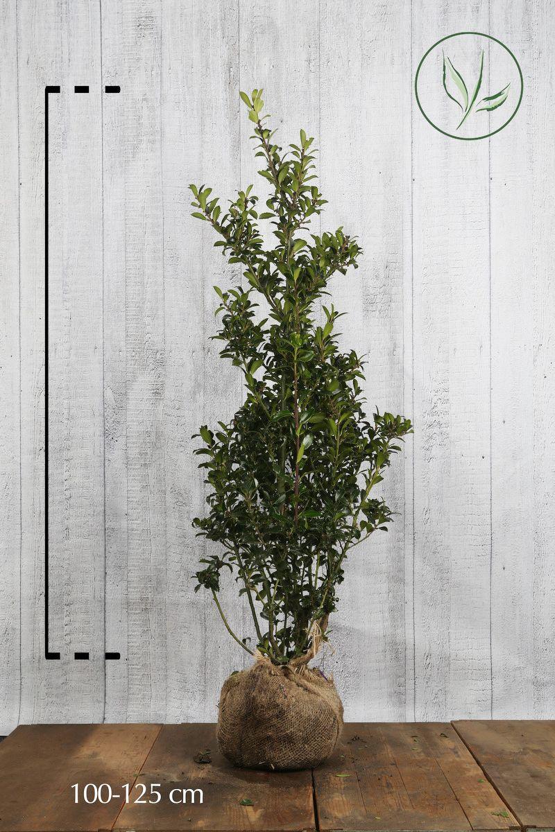 Kristtorn 'Heckenpracht' Klump 100-125 cm