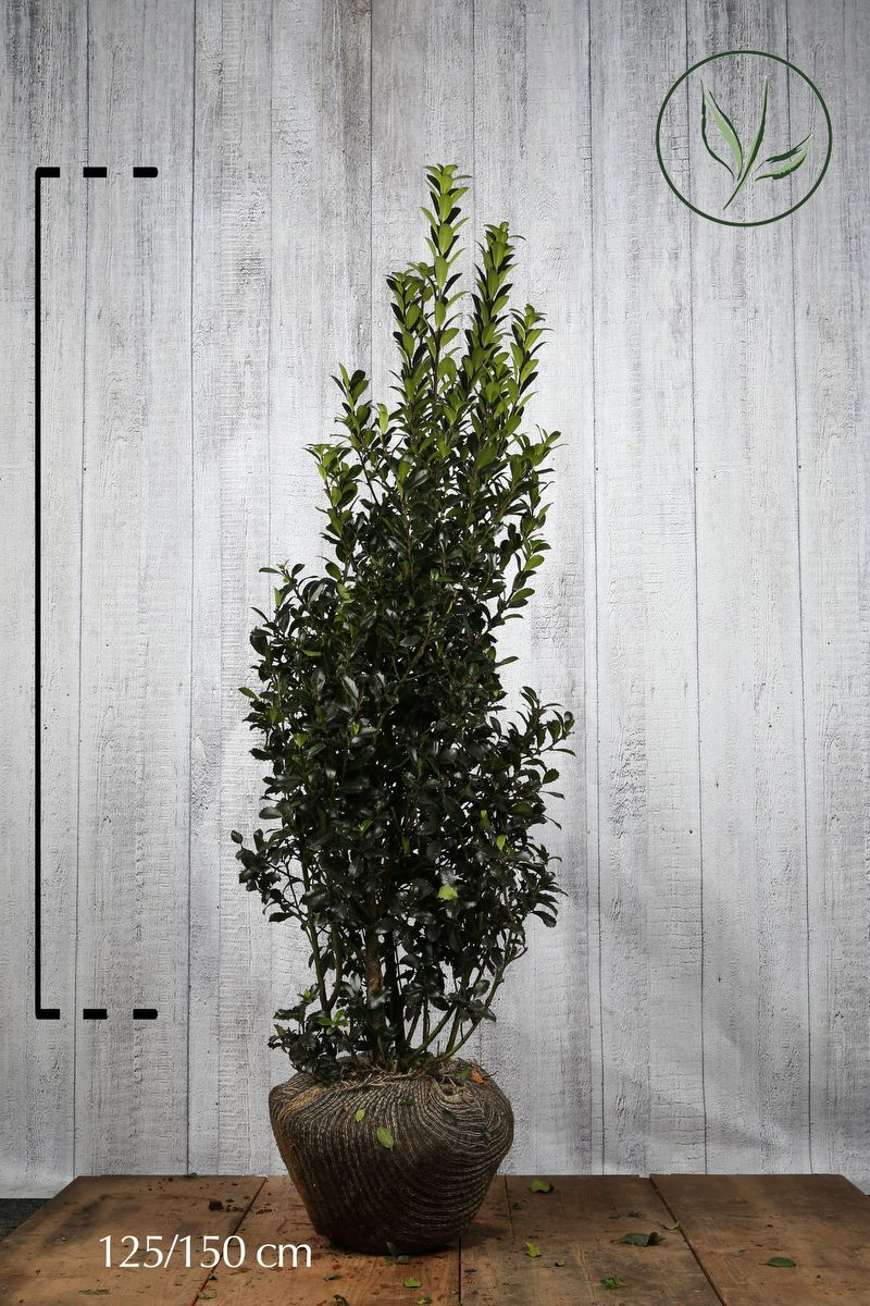 Kristtorn 'Heckenpracht' Klump 125-150 cm