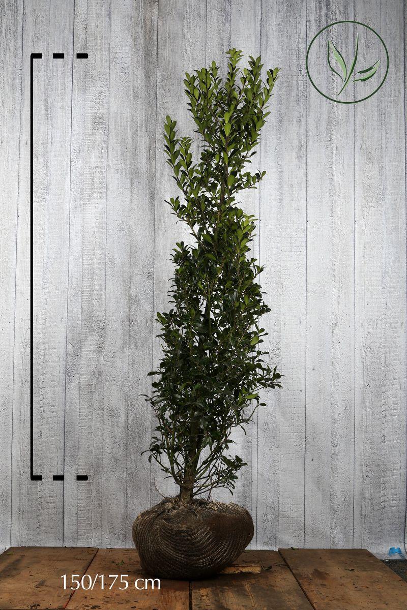 Kristtorn 'Heckenpracht' Klump 150-175 cm
