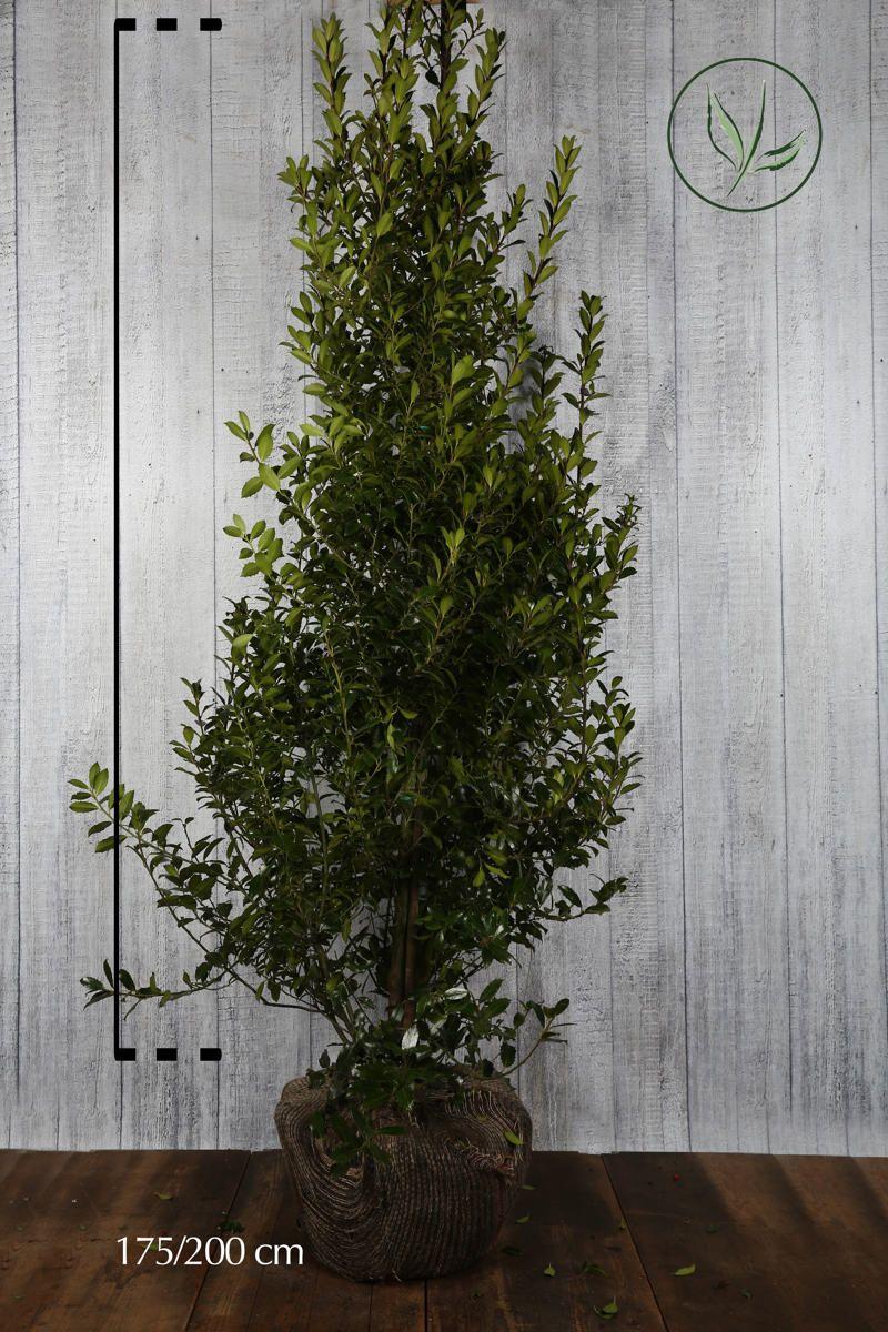 Kristtorn 'Heckenpracht' Klump 175-200 cm