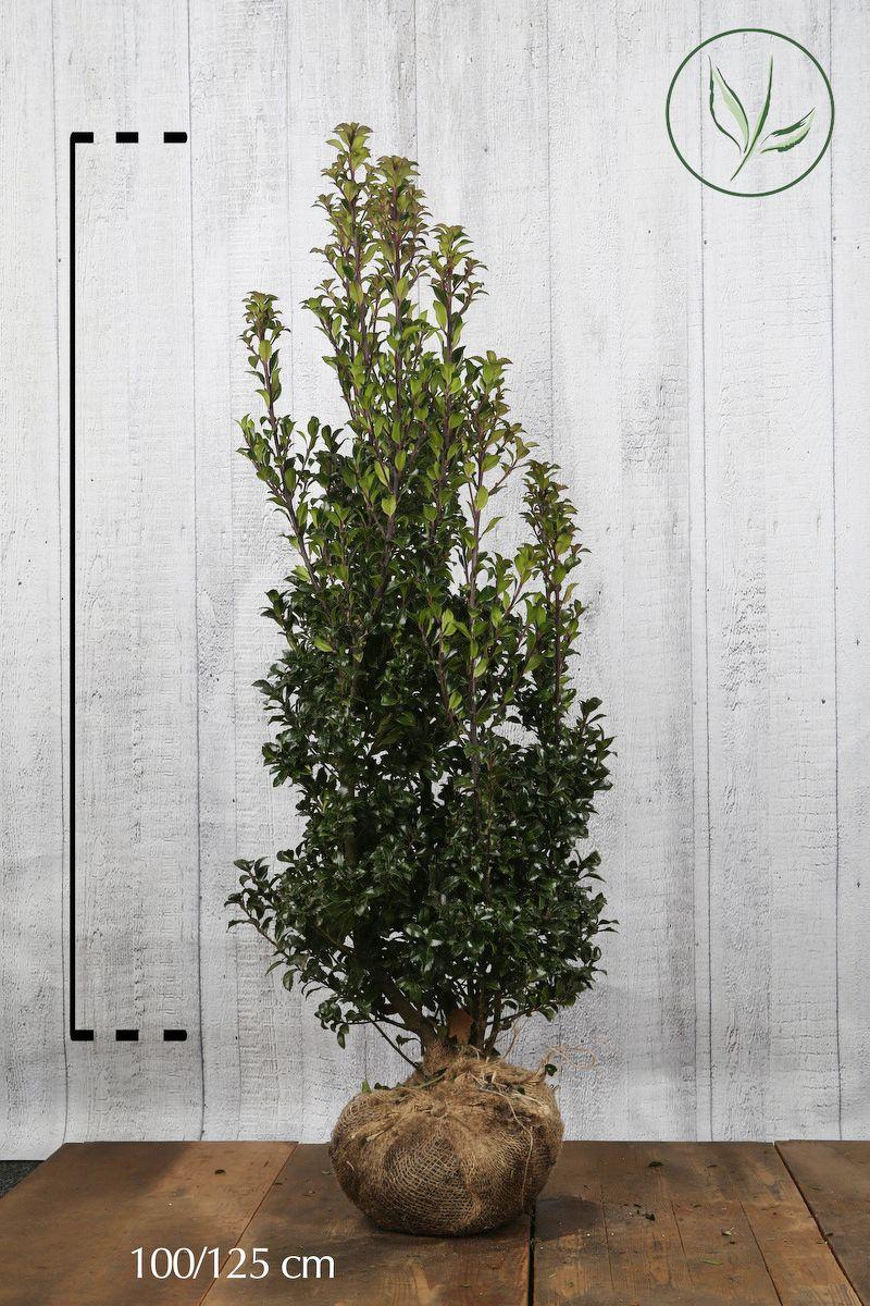 Kristtorn 'Heckenstar' Klump 100-125 cm