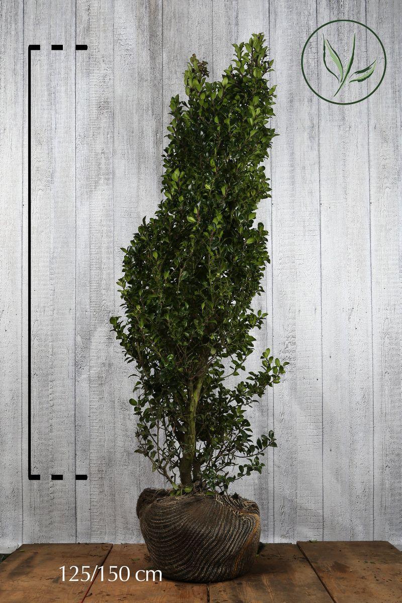 Kristtorn 'Heckenstar' Klump 125-150 cm