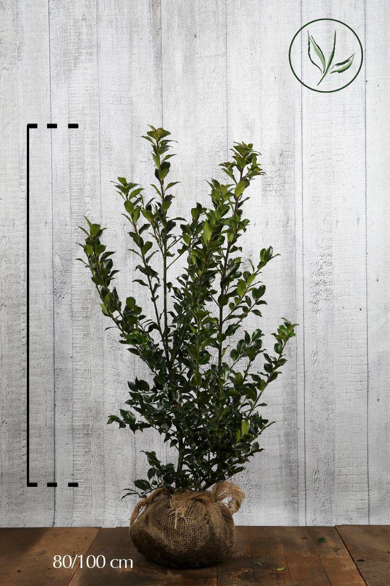 Kristtorn 'Blue Maid' Klump 80-100 cm