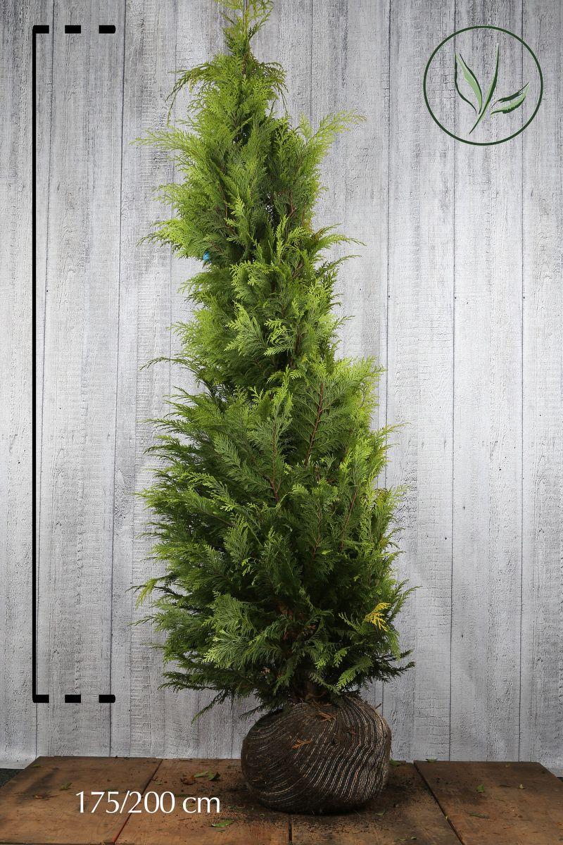 Gul lawsonsypress 'Stardust' Klump 175-200 cm Ekstra kvalitet