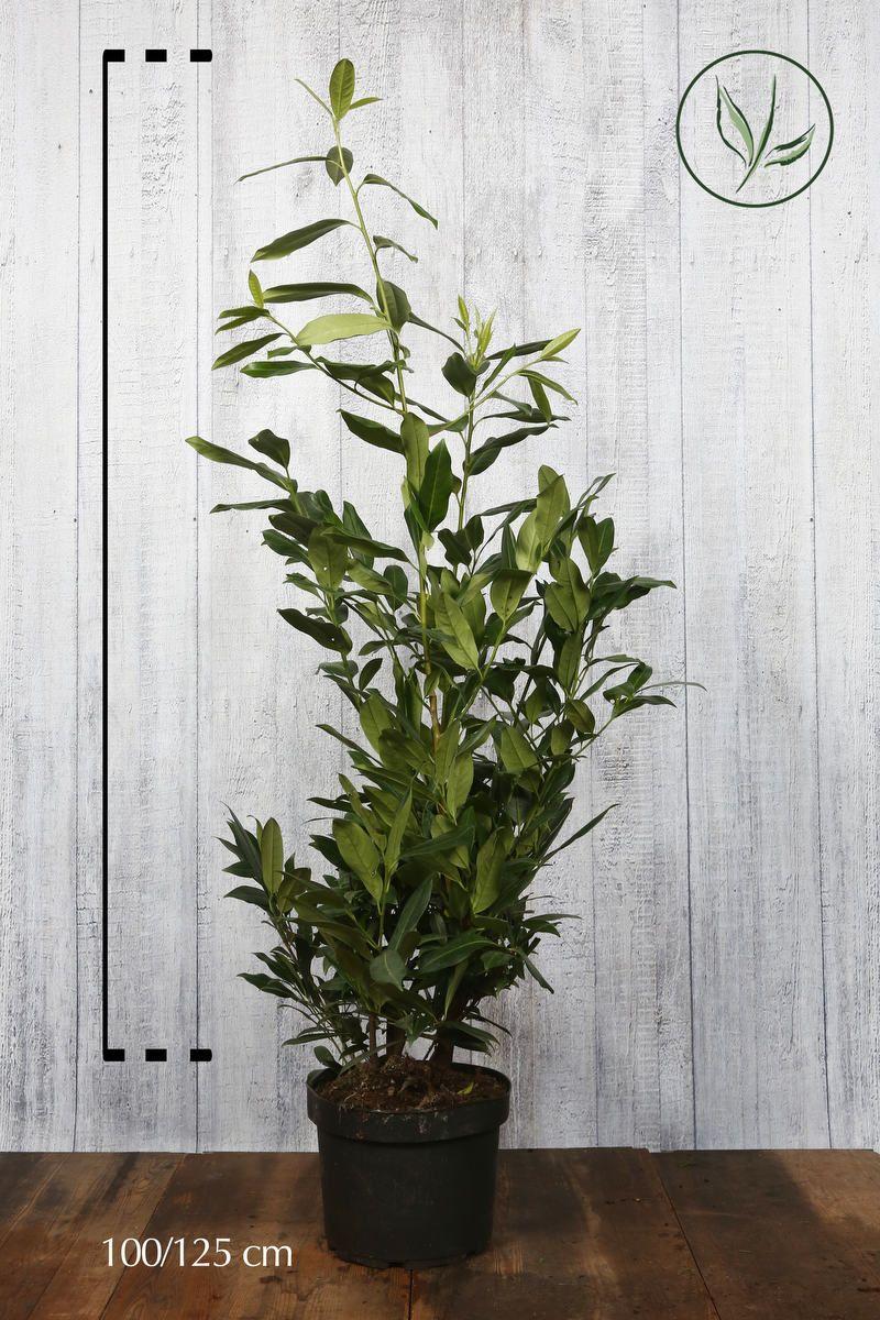Laurbærhegg 'Herbergii' Potte 100-125 cm