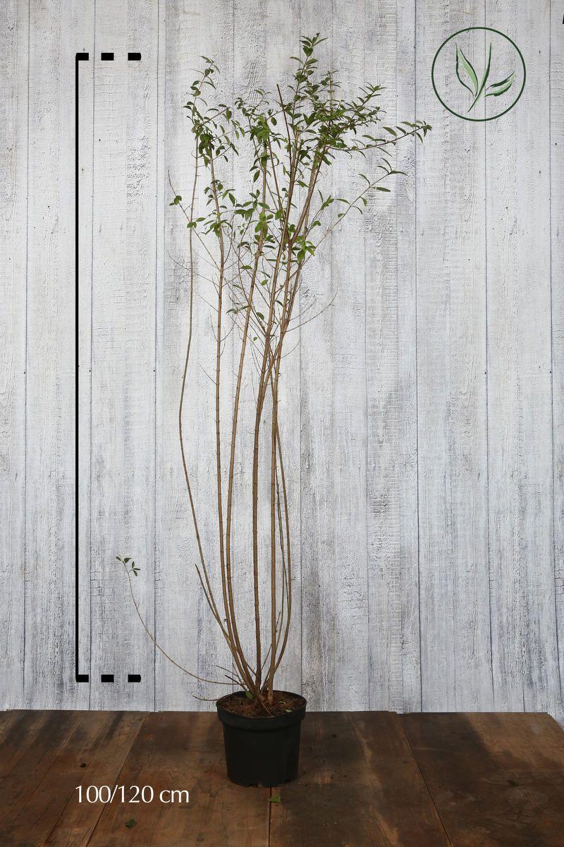 Eviggrønn liguster 'Atrovirens' Potte 100-120 cm Ekstra kvalitet
