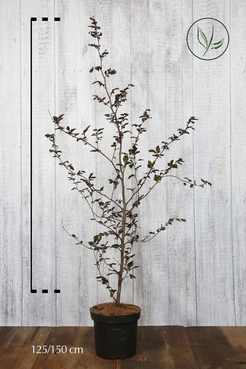 Blodbøk Potte 125-150 cm Ekstra kvalitet