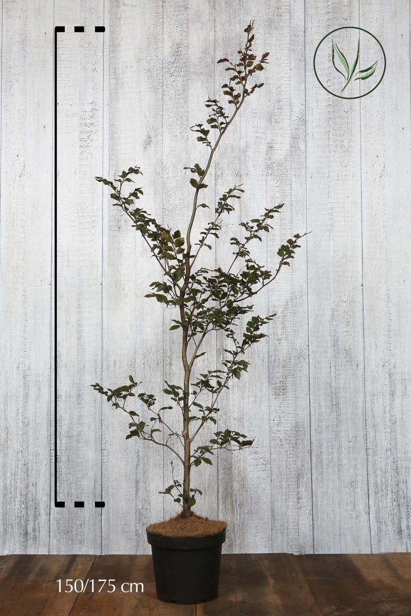 Blodbøk Potte 150-175 cm Ekstra kvalitet
