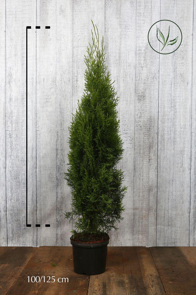 Tuja 'Smaragd' Potte 100-125 cm Ekstra kvalitet