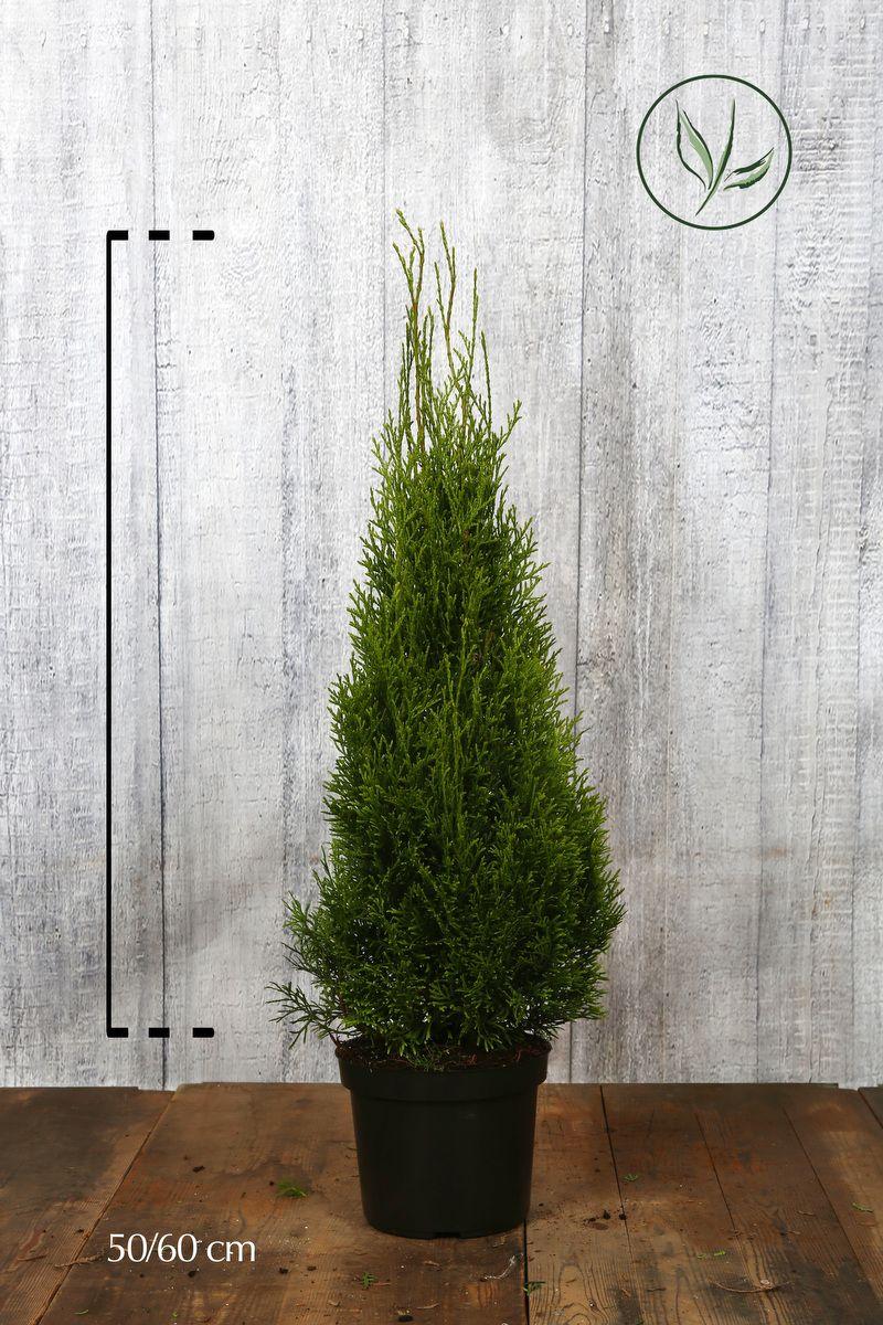 Tuja 'Smaragd' Potte 50-60 cm Ekstra kvalitet