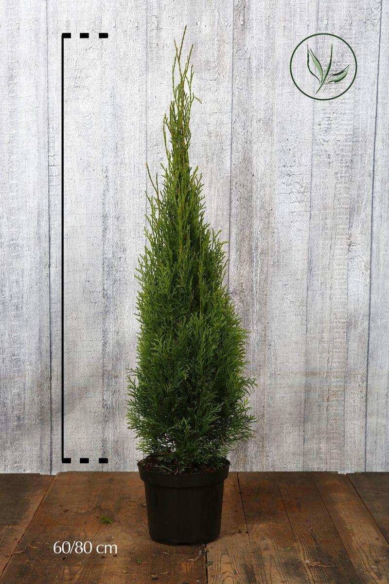 Tuja 'Smaragd' Potte 60-80 cm Ekstra kvalitet