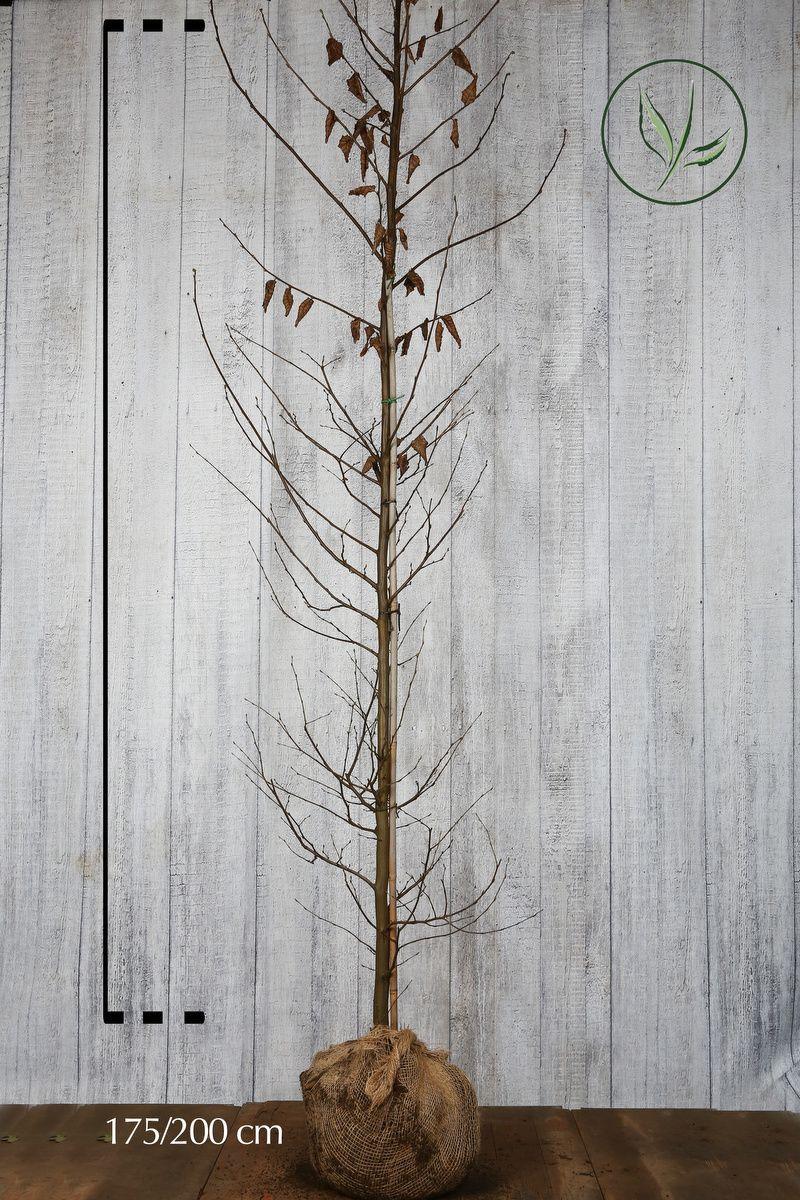 Agnbøk Klump 175-200 cm Ekstra kvalitet