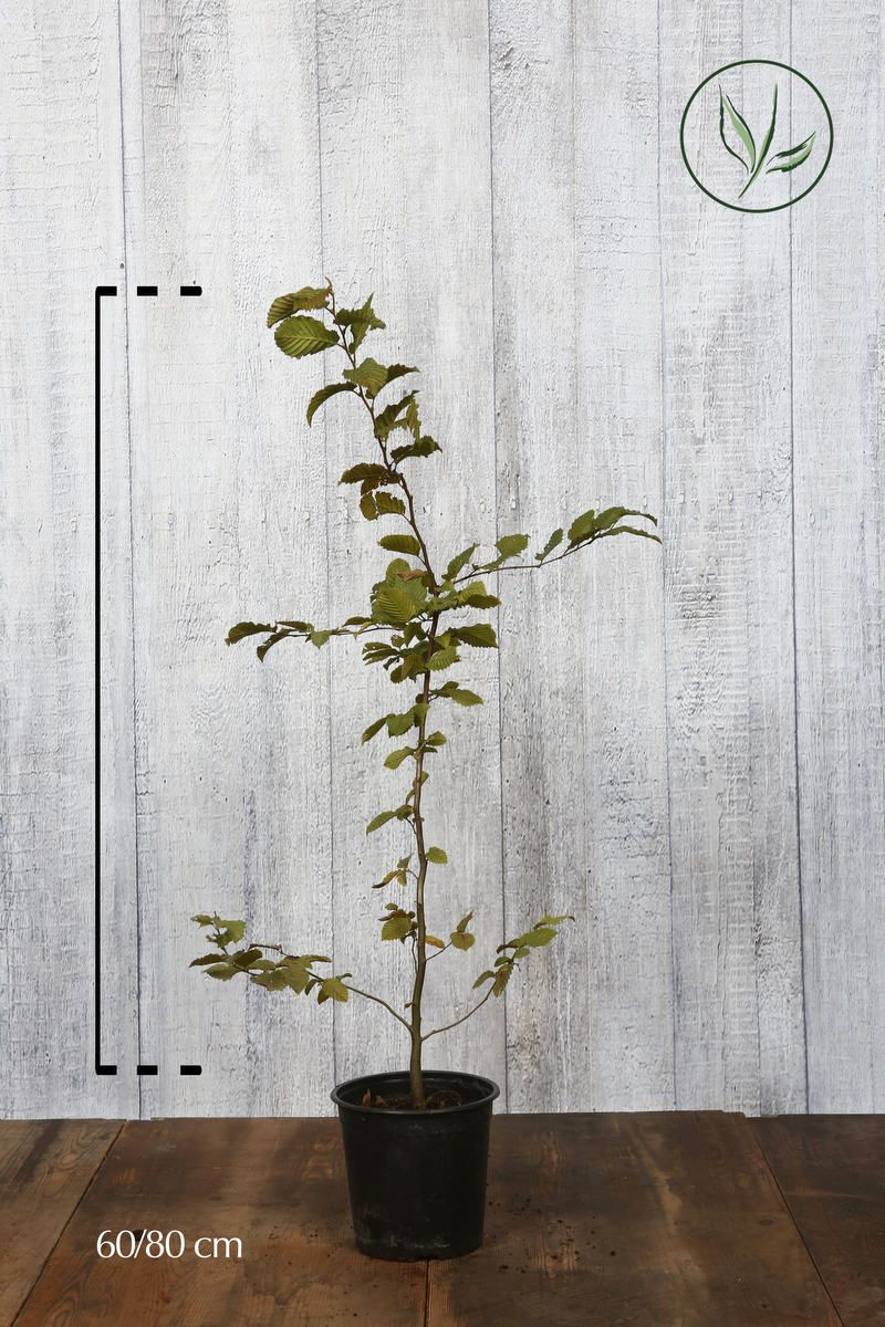Agnbøk Potte 60-80 cm