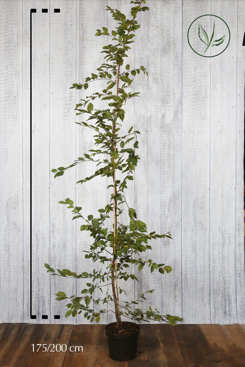 Agnbøk Potte 175-200 cm Ekstra kvalitet