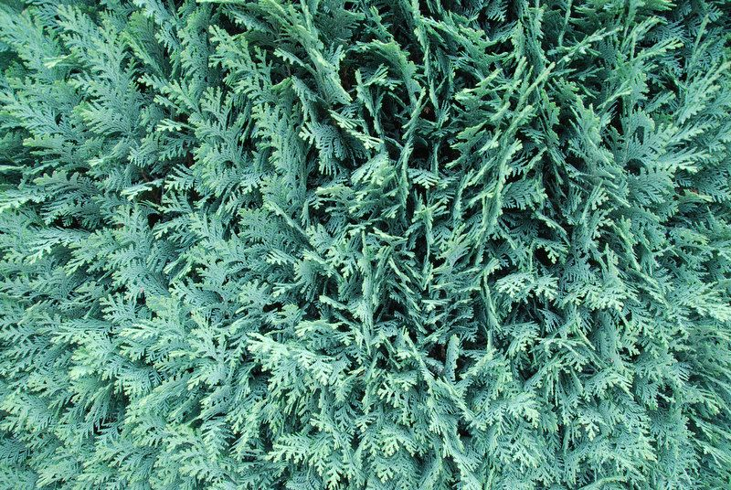Blå lawsonsypress