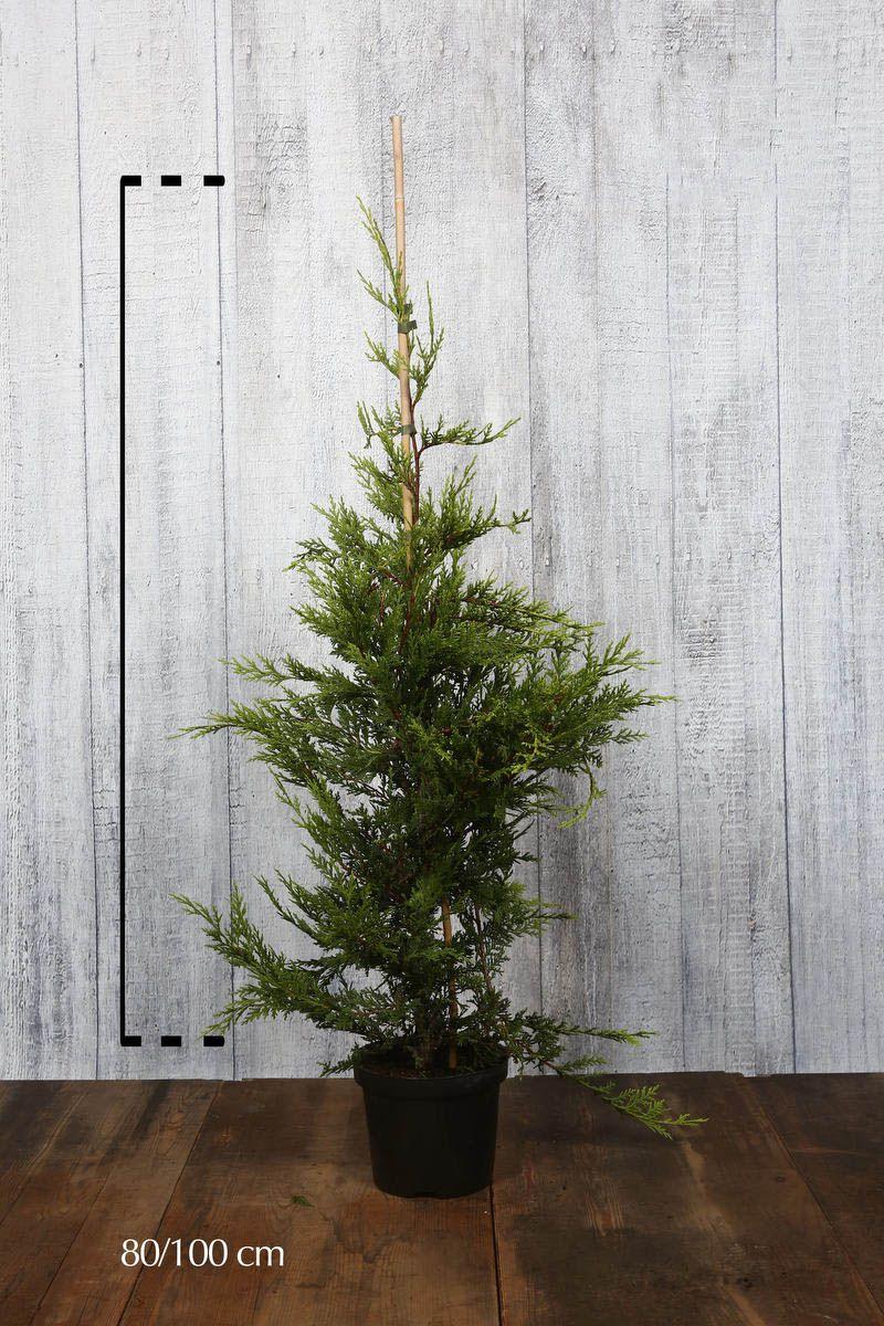 Gul leylandsypress Potte 80-100 cm