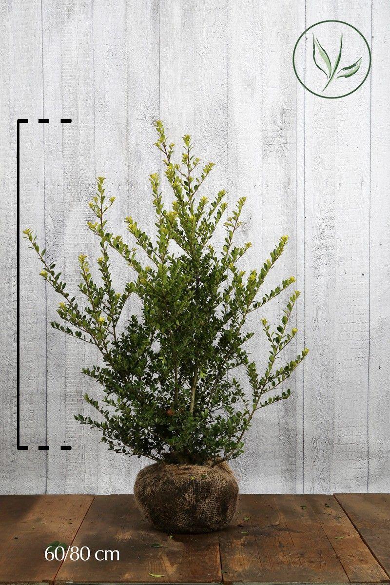 Japansk kristtorn 'Green Hedge' Klump 60-80 cm