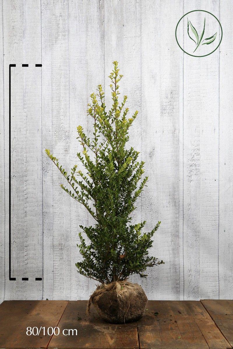 Japansk kristtorn 'Green Hedge' Klump 80-100 cm