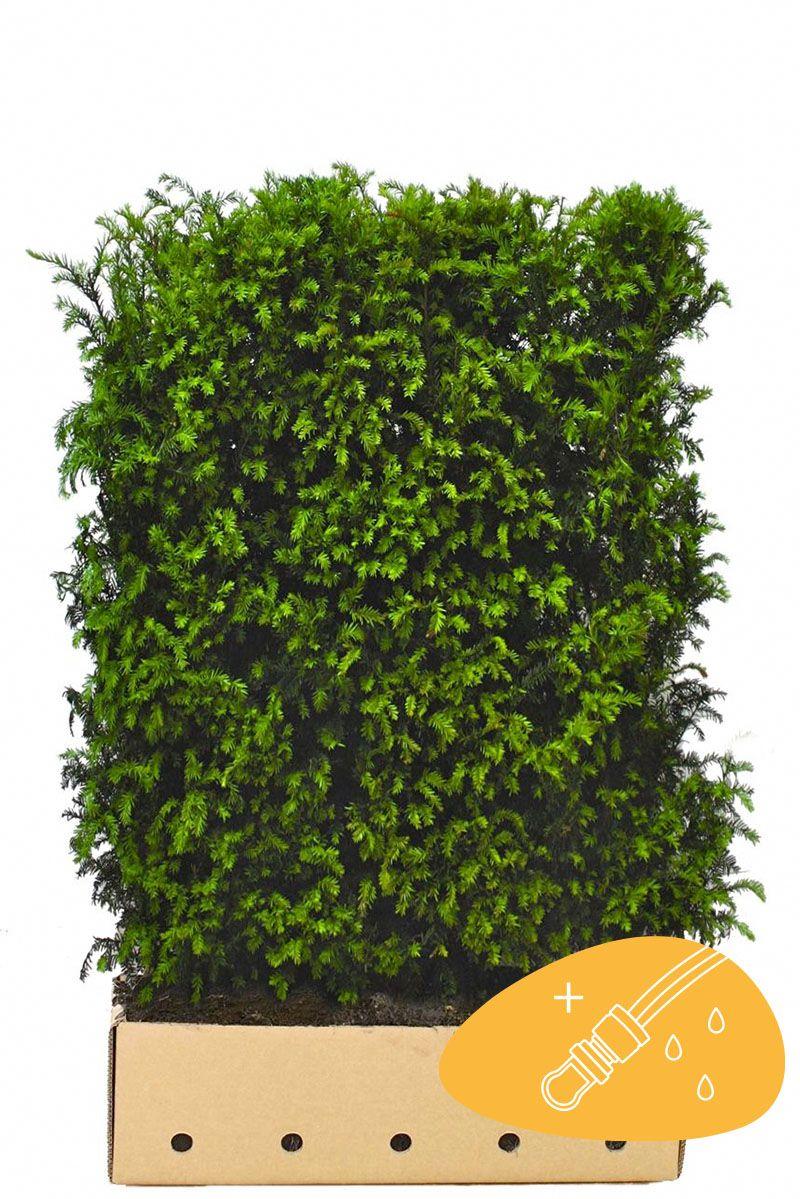 Europeisk barlind Ferdighekk 150 cm Ferdighekk