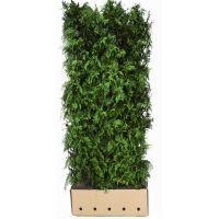 Ambratre 'Worplesdon' Ferdighekk 200 cm Ekstra kvalitet