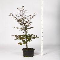 Blodbøk Potte 80-100 cm Ekstra kvalitet