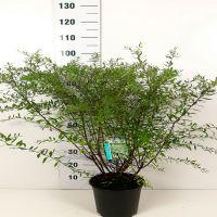 Brudespirea 'Grefsheim' Potte 60-80 cm