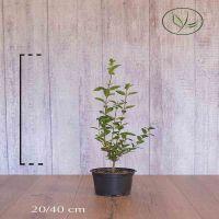 Vinterliguster Potte 20-40 cm