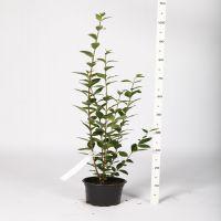 Vinterliguster Potte 60-80 cm
