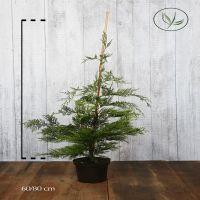 Grønn leylandsypress  Potte 60-80 cm Ekstra kvalitet