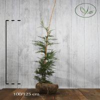 Grønn leylandsypress  Klump 100-125 cm