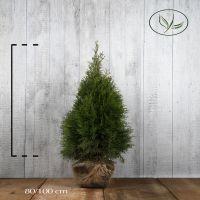 Tuja 'Smaragd' Klump 80-100 cm Ekstra kvalitet