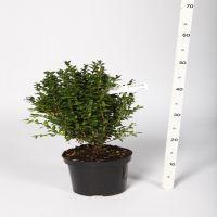 Buksbom - busk Potte 20-30 cm