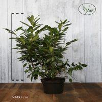 Laurbærhegg 'Herbergii' Potte 60-80 cm Ekstra kvalitet