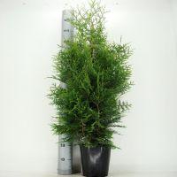 Tuja 'Brabant' Potte 100-125 cm Ekstra kvalitet