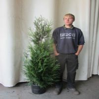 Tuja 'Martin' Potte 175-200 cm Ekstra kvalitet