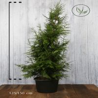 Tuja 'Excelsa' Potte 125-150 cm Ekstra kvalitet