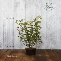 Hortensia 'Vanille Fraise' Potte 40-60 cm Ekstra kvalitet